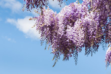 Purple Japanese Wisteria (Wist...