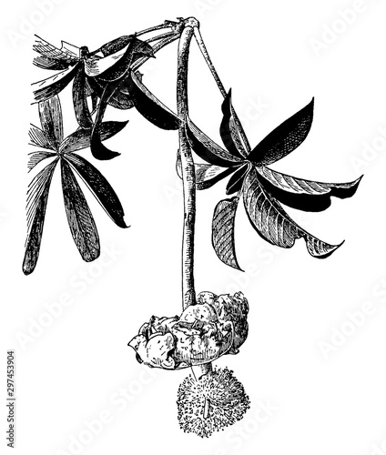 Fototapeta Flower of Adansonia Digitata vintage illustration.