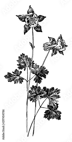 Fotografering Aquilegia Alpina vintage illustration.