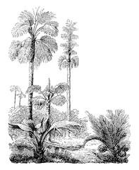 Fototapeta Drzewa Gebang and Nipa Palm Trees vintage illustration.