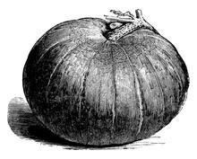 Large Yellow Gourd Vintage Illustration.