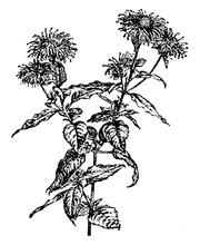 Flowering Branch Of Oswego Tea...