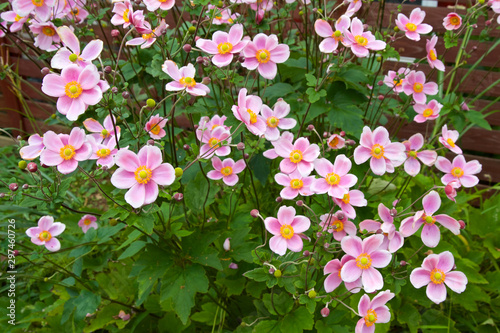 Photo Beautiful anemone hupehensis blossom in garden.
