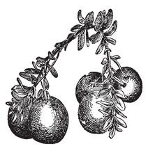 Globular Cranberry Vintage Ill...