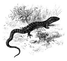 Northern Alligator Lizard, Vin...