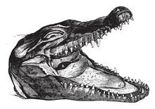 Crocodile Head, Vintage Illust...