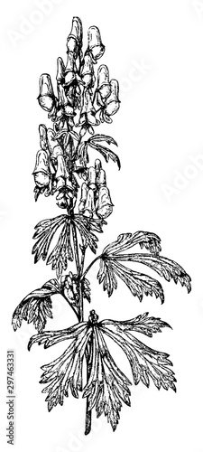 Photo Aconitum Autumnale vintage illustration.