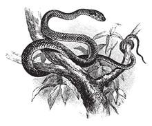 Green Snake, Vintage Illustration.