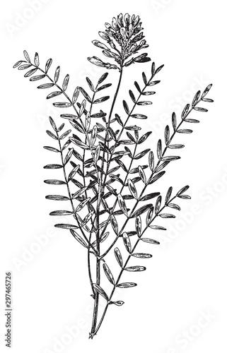 Astragalus Hypoglottis vintage illustration. Wallpaper Mural