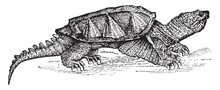 Alligator Terrapin, Vintage Illustration.