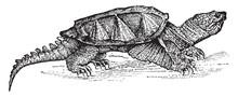 Alligator Terrapin, Vintage Illustration.