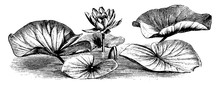 Common White Water Lily Vintage Illustration.