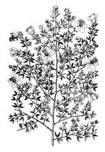 Creosote Bush (larrea Mexicana) Vintage Illustration.