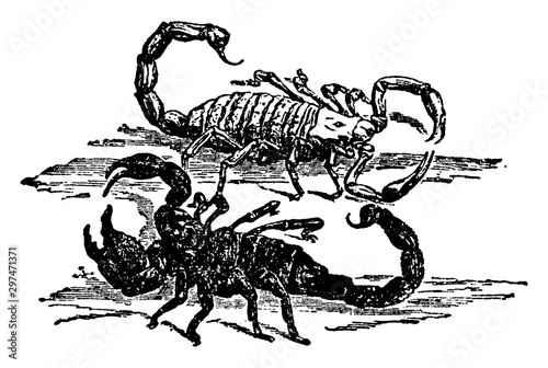 Photo Arachnid Scorpion, vintage illustration.