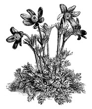 Anemone Pulsatilla Flower Vintage Illustration.