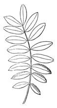 Compound Leaf Vintage Illustration.