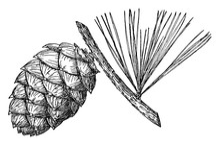 Pine Cone Of Whitebark Pine Vintage Illustration.