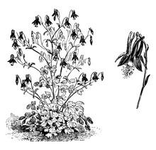 Aquilegia Canadensis Habit And Flower Vintage Illustration.
