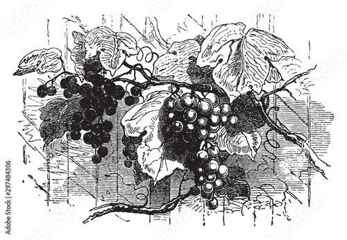 Fotografia, Obraz  Vines vintage illustration.
