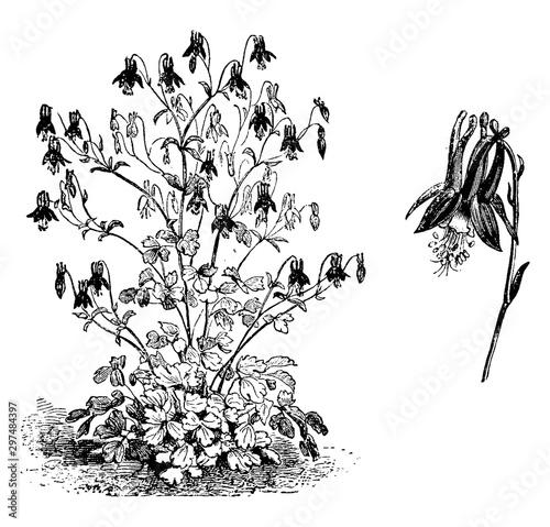 Fotografie, Obraz Aquilegia Canadensis Habit and Flower vintage illustration.