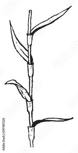 Fototapeta  Sedge morphology:leaf arrangement vintage illustration.