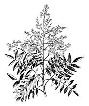 Sophora Japonica Vintage Illus...