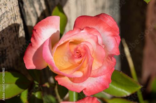 Pink White rose.