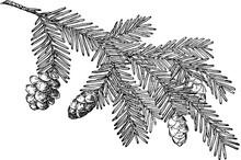 Pine Cone Of Western Hemlock V...