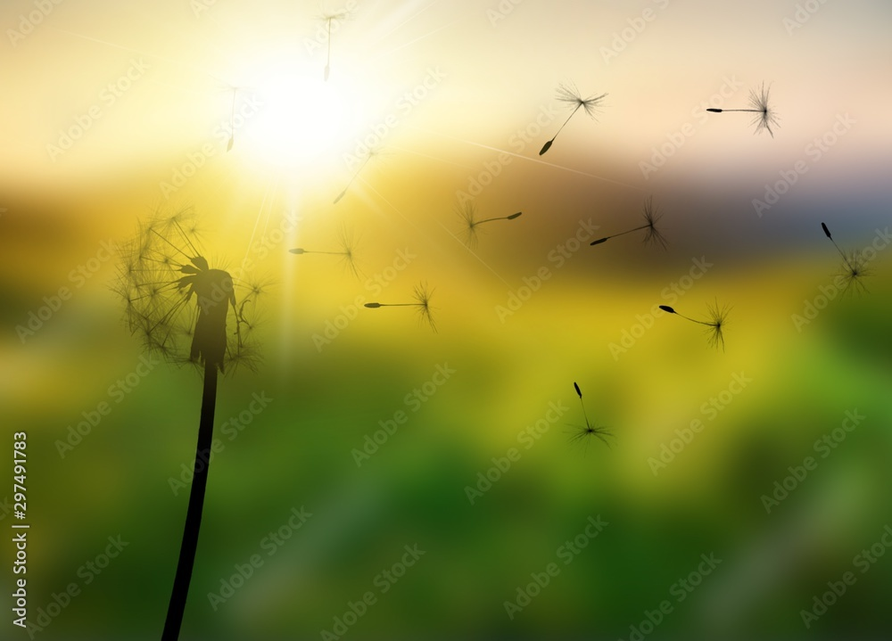 Fototapety, obrazy: Close up of grown dandelion and dandelion seeds isolated on  background