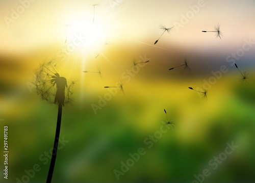 Fototapeta Close up of grown dandelion and dandelion seeds isolated on  background obraz