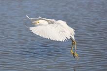 Snowy Egret Spreading Wings In Flight