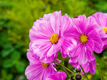 Cosmos Bipinnatus - Cosmic Beauty And Windflowers Of Garden Cosmos Or Mexican Aster With Pink Blossom