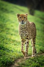 Cheetah Portrait In Autumn Park