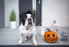 French Bulldog Sitting At Home Front Doors With Pumpkin Lantern And Spider Hat For Halloween