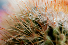LWTWL0001741 Golden Barrel Cactus Echinocactus Grusonii.