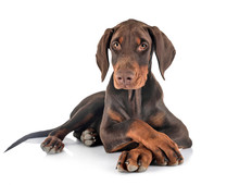 Puppy Doberman Pinscher In Stu...