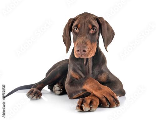 Fototapeta puppy doberman pinscher in studio