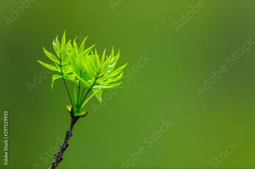 ASH OR EUROPEAN ASH (Fraxinus excelsior), Fuentes del Narcea, Degaña e Ibias Natural Park, Asturias, Spain, Europe