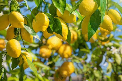 Fotografia, Obraz Bunches of fresh yellow ripe lemons with green leaves.