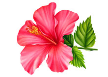 Hibiscus Flower Painted In Watercolor, On An Isolated White Background, Botanical Illustration, Tropical Flowers