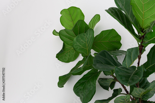 Fototapeta Fiddle leaf fig tree on white background.