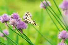A Scarce Swallowtail (Iphiclid...