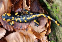 Yellow-black Salamander On Lea...