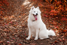 Samoyed Dog Sitting In Autumn Forest Near Red Leaves . Canine Background. Walk Dog Concept.