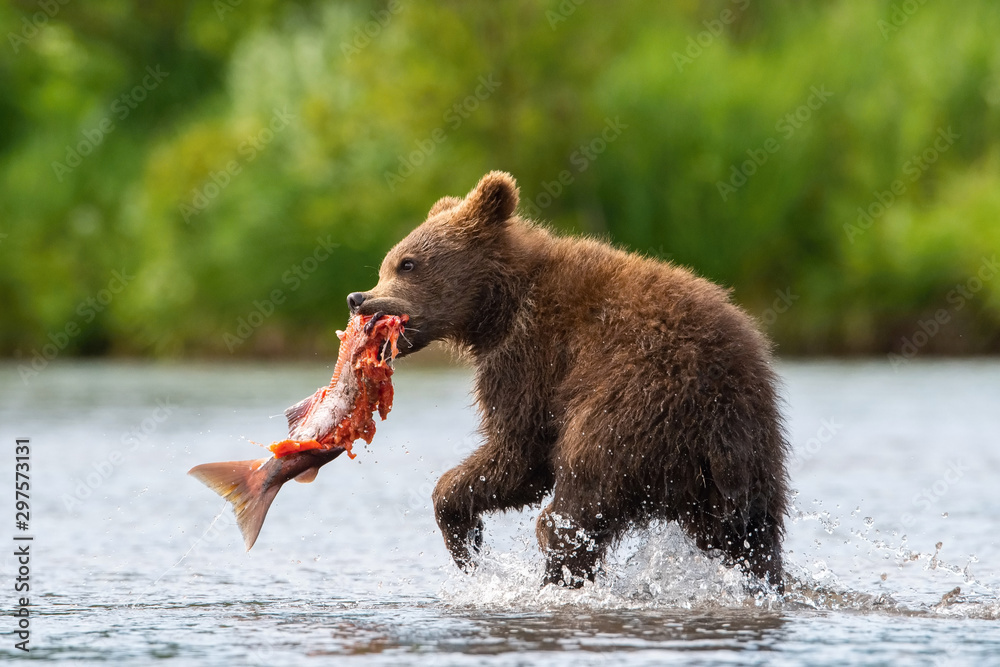 Fototapety, obrazy: The young Kamchatka brown bear, Ursus arctos beringianus catches salmons at Kuril Lake in Kamchatka, running and playing in the water, action picture
