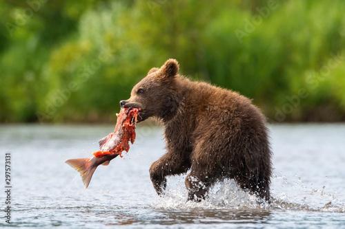 Fototapeta  Theyoung Kamchatkabrownbear, Ursus arctos beringianus catches salmons at Kuri