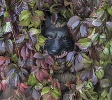 Werewolf Looks Out Of The Leaves