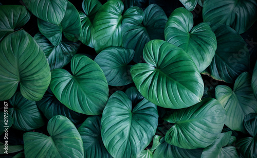 Wall Murals Plant Perma Press Homalomena in the garden