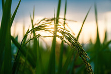 The Rice Grain In The Field Is Growing On The Shining Sunlight Background