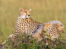 Cheetah With Two Cubs Lying An...
